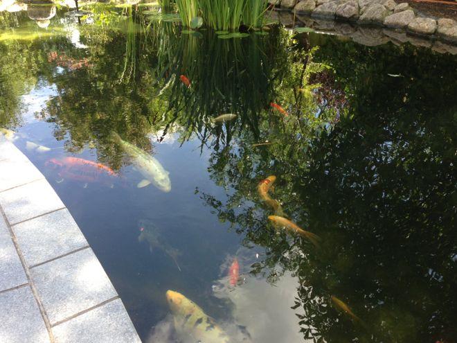 Fishcare k nnen sich koi und goldfische kreuzen for Goldfische und kois in einem teich