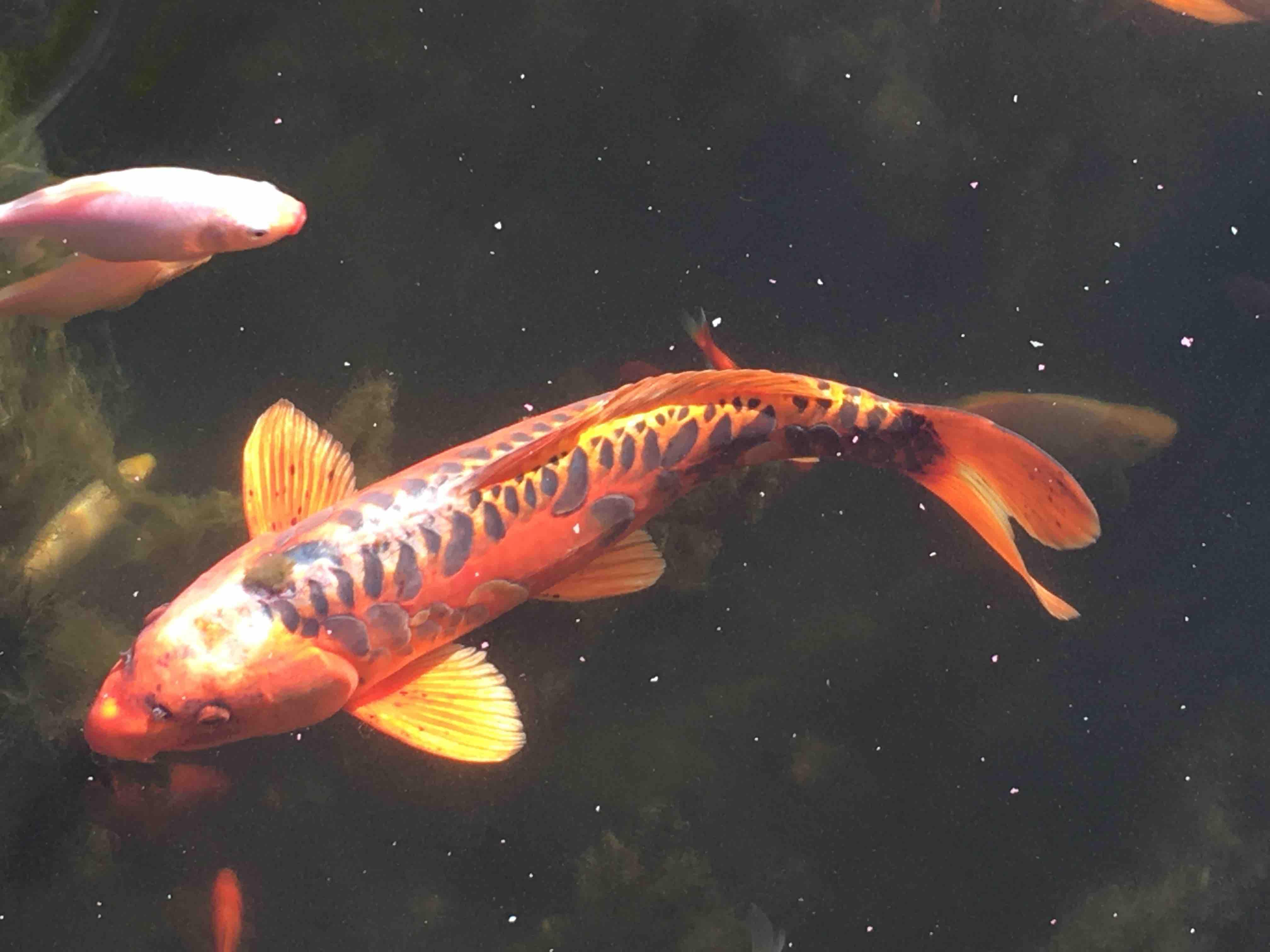 Fishcare gr ner aufwuchs auf einem koi for Koi mit goldfischen