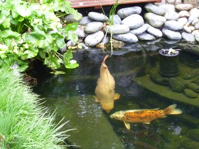 Fishcare berwintern in kleinen flachen teichen for Koi teich winter