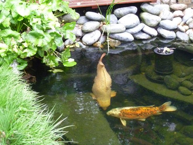 fishcare berwintern in kleinen flachen teichen