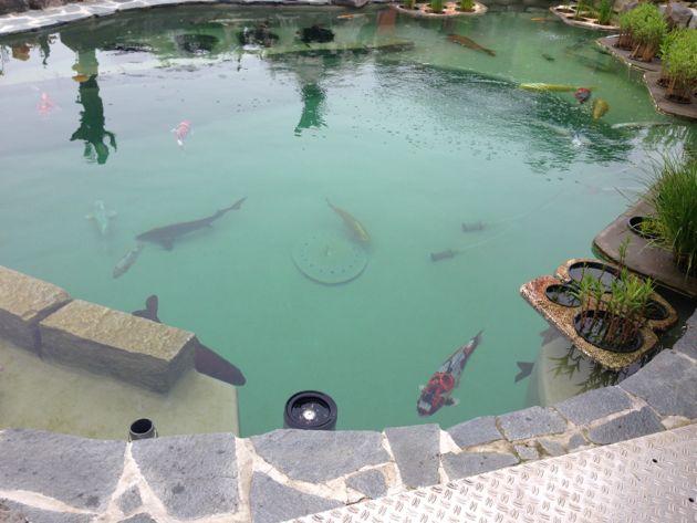 Fishcare neues becken vorbereitungen f r das umsetzen for Koi und goldfische in einem teich