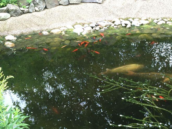 Fishcare alarmzeichen im teich for Was fressen fische im teich