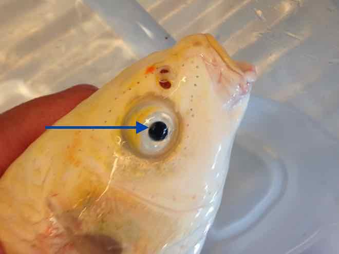 Fishcare ichthyo ist mal wieder die krankheit der woche for Koi mit goldfischen